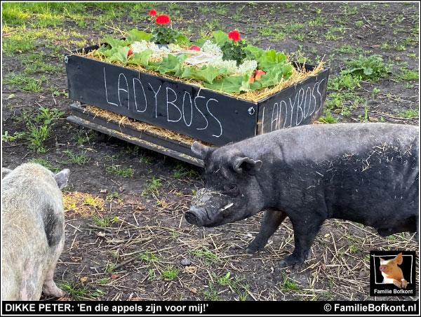 KIJK https://2021.bfknt.nl/varkens-big-dikke-peter-bij-uitvaart-ladyboss.jpg